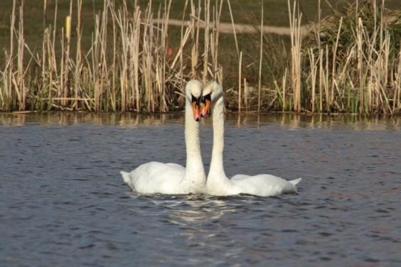 New swan couple