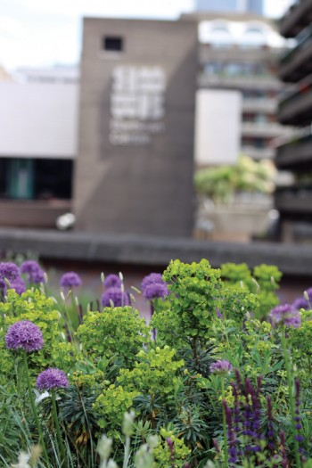 Alliums with Barbican behind