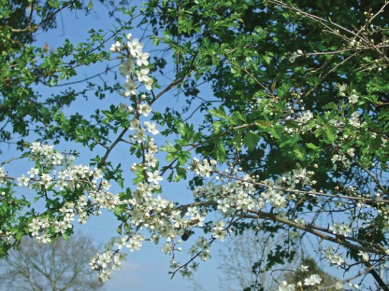Blackthorn flowers and hawthorn leaves