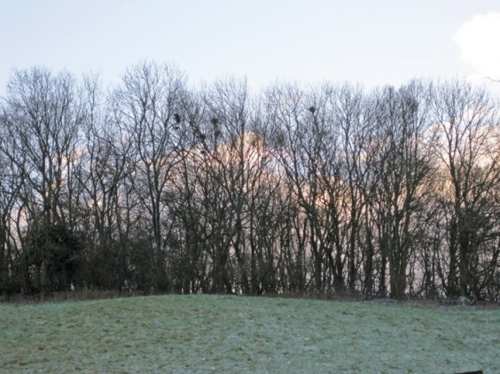Rooks' nests in December