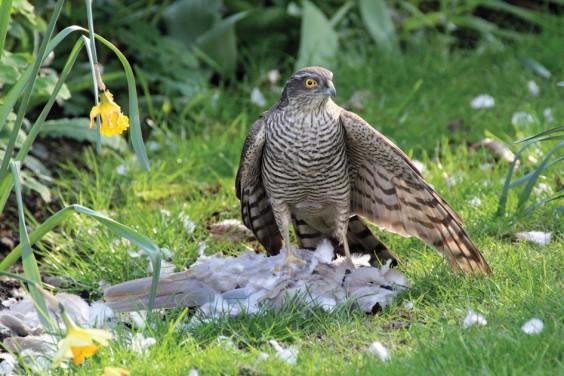 Sparrowhawk in Alvechurch