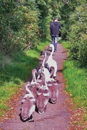 Swans following John