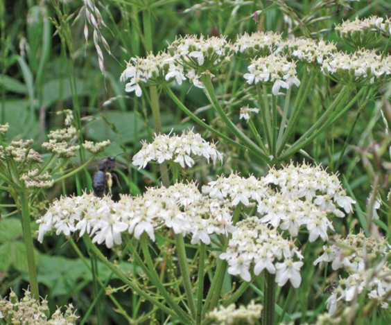 Rare black bee on hogweed