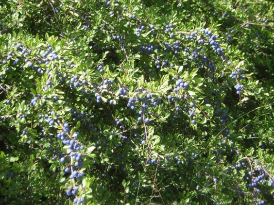 Sloes