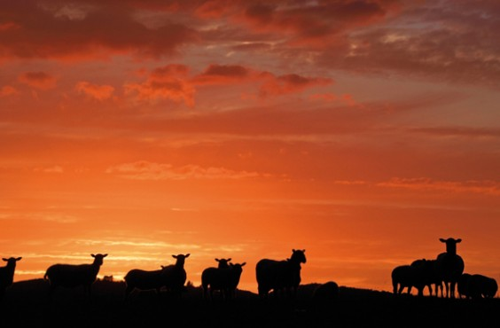 Grazing sheep silhouetted by the setting sun over Alvechurch