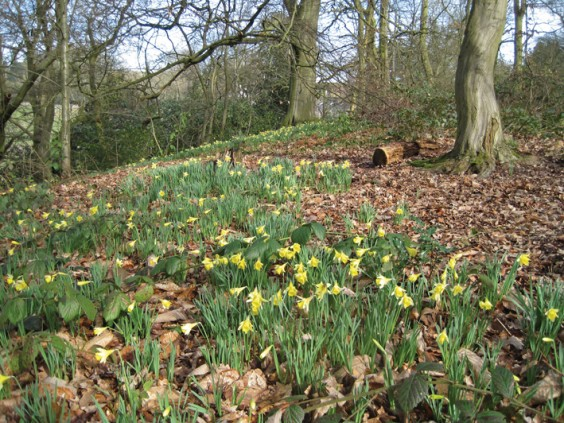Wild daffodils, Chance Wood
