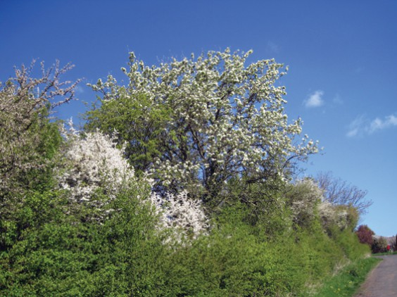 good hedge
