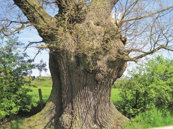 Oak bole