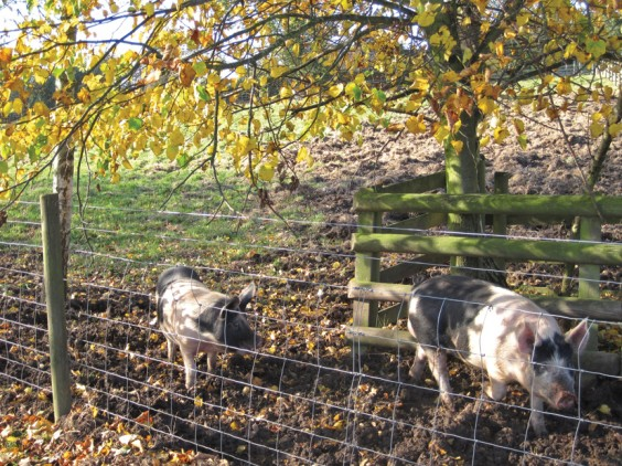 Autumn pigs