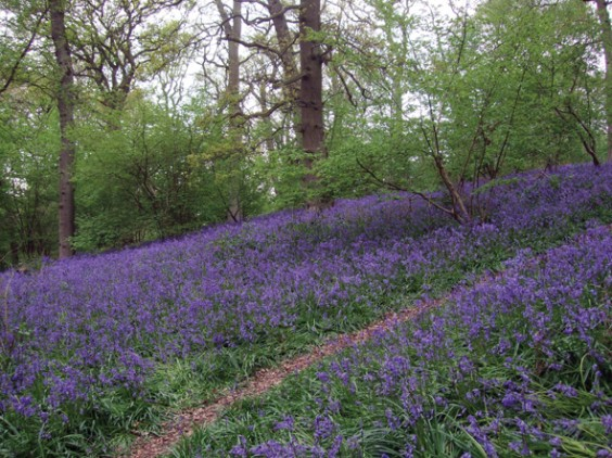 Bluebells in Peck Wood
