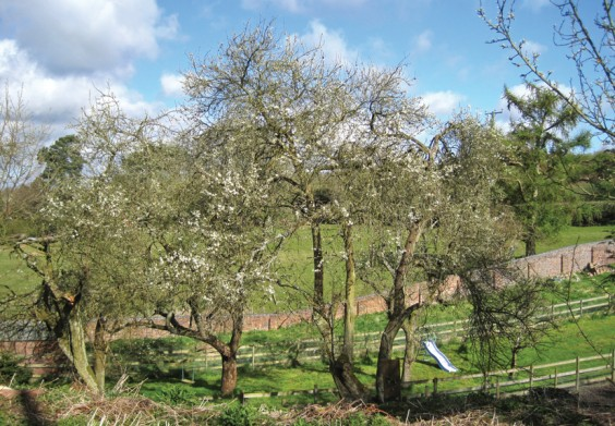 Damson trees