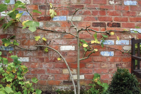 Espalier fig cut back