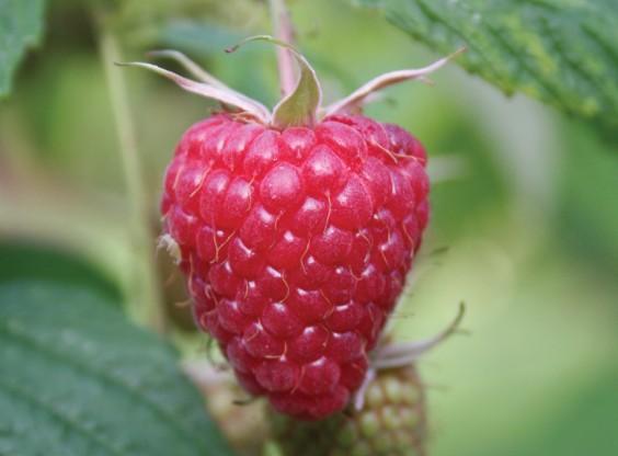 First raspberries