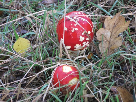 Fly agaric in the Barnt Green woods