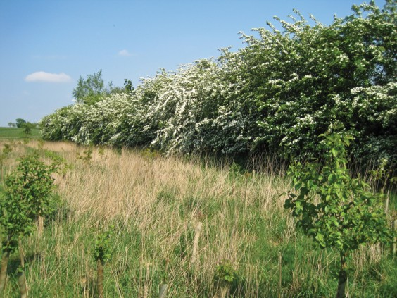 Hawthorn bee-line