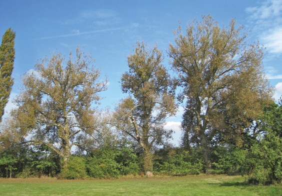 Poplars in The Meadows