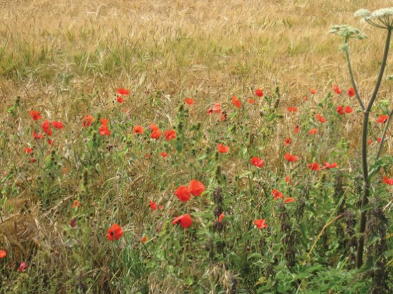 poppies in barley