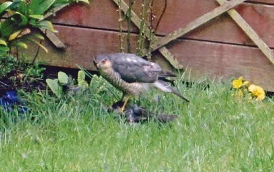 Suspected sparrowhawk in Alvechurch