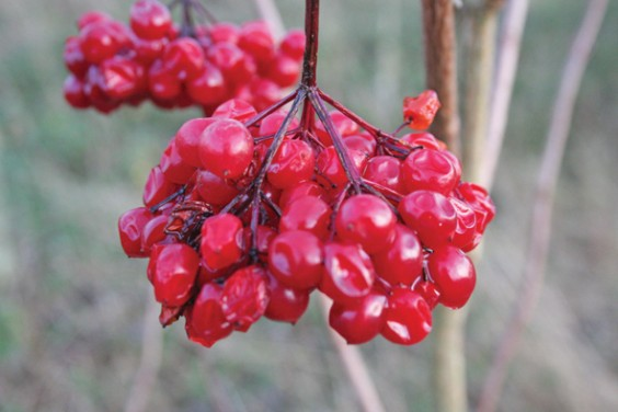 Virburnum berries
